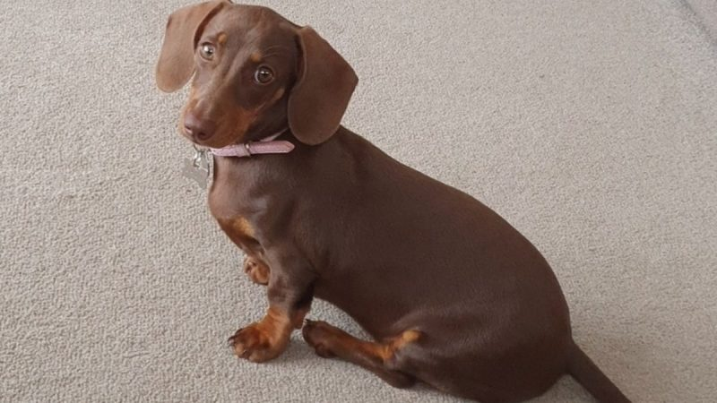 Sausage dog pup Lady cuddles dying care home resident during final days